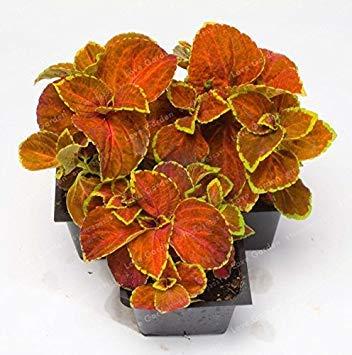 Vistaric 50 PCs Chinois Bonsaï Coleus Graines Mini Feuillage Plantes Parfait Couleur Maison Herbe Pot Planteur Pour Jardin Décoration 4