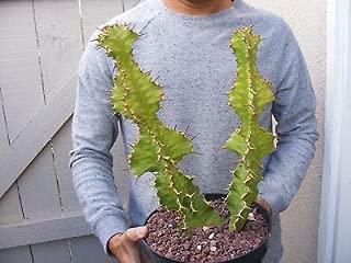 1 Euphorbia Hybrid Zig Zag Cactus Plant