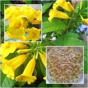 Pinkdose® Blühende Pflanze Trompete-Kletterpflanze Gelb Blume 30 Samen Blume Pflanzensamen Für Haus Bonsai Geeignet Blühende Pflanzensamen Garten Pack