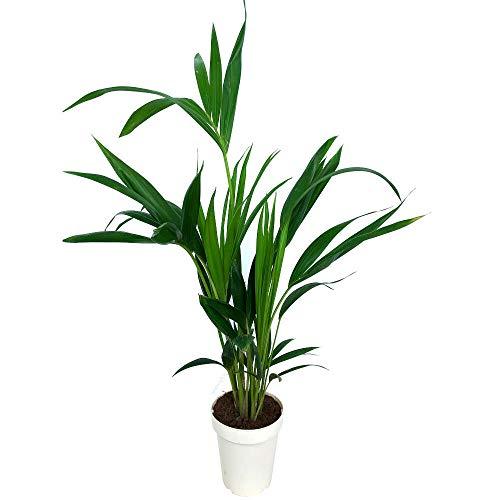 Kentia Fosteriana natural M14 palmera de interior de 90cm de altura con maceta decorativa incluida.