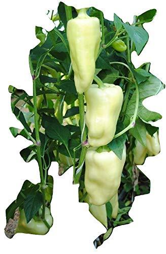 Ungarische Riesenpaprika, süss, organisch, hoher Ertrag von Frühling bis Spaetherbst!! 20 Samen, von unserer ungarischen Farm samenfest, nur organische Dünger, KEINE Pesztizide, BIO hu-öko-01