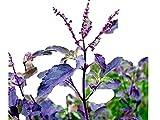 一番効果が高い 赤紫ホーリーバジル 種 50粒(クリシュナトゥルシーの種)