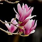 obiqngwi 5Pcs Magnolia Semi di Denudata Yulan Flower Pianta ornamentale giardino di casa pianta bonsai - Rosso Semi di Magnolia