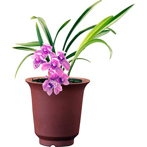 Pre-Sale 4 Plants of Cymbidium Orchid Fragrant Flowers Easy to Grow-Shipped Without Flowers