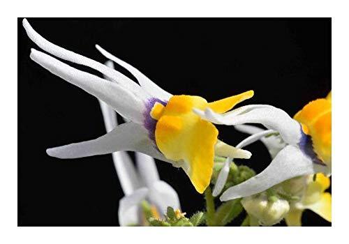 Nemesia cheiranthus - Corne longue Nemesia - 10 graines