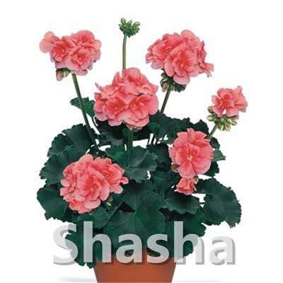 SANHOC Bonsai Geranium 100 Stück Japanische Gelb Ppleblossom Rosebud Pelargonium blühende Geranien Balkonpflanze Für Hausgarten: 22
