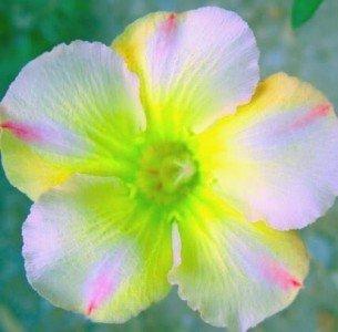 Wüstenrose (Adenium obesum) 5 Samen Lemon Pink