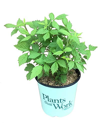 Plants That Work - in The Kitchen Heritage Ever-Bearing Red Raspberry - Rubus...