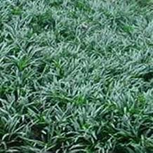 ophiopogon nana dwarf mondo grass