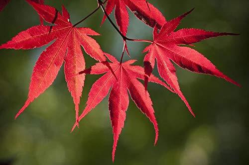 UEYR Rojo de la Hoja de Arce japonés de 50 Semillas, Color Hermoso, Fresco y recogido