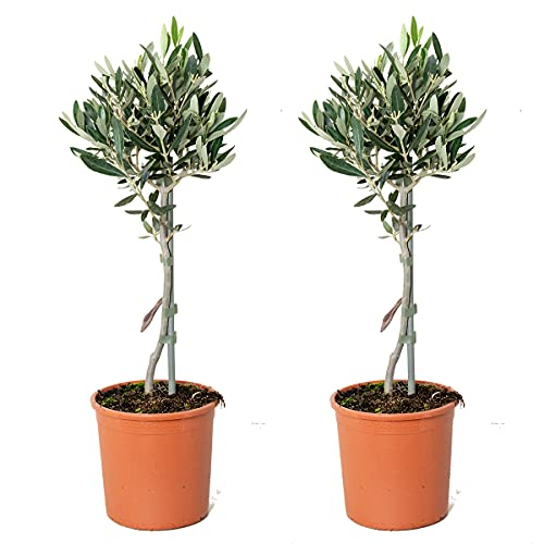 Olivenbaum am Stamm pro 2 Stück   Olea Europaea - Freilandpflanze im Gärtnertopf cm14 cm - 40-50 cm