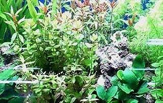 前景から後景まで育てやすい種 簡単育成水草10種セット ◆緑色と赤色水草が映える◆