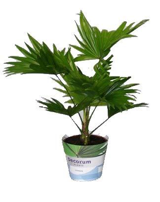 Australische Fächerpalme, (Livistona rotundifolia). ca. 40cm hoch, im 14cm Topf