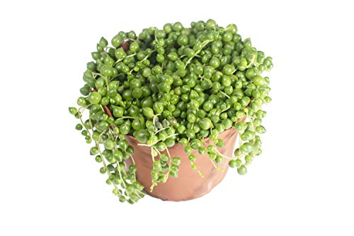 String of Pearls - 6'' from California tropicals