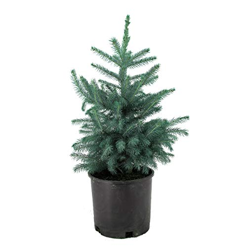 AMERICAN PLANT EXCHANGE Colorado Blue Spruce Tree...