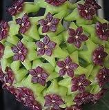 ASTONISH SEEDS: Hoya carnosa verde-violeta - hindú -...