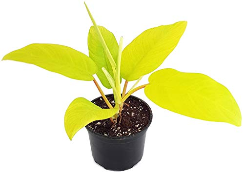 Fangblatt - Philodendron Lemon Lime - der Baumfreund mit leuchtenden Blättern - außergewöhnliche Zimmerpflanze - Sammlerpflanze