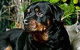 Pintura por números para adultos Rottweiler negro Pet Dog Animal Canvas Art Kit DIY Pintura al óleo para principiantes 40 x 50 cm