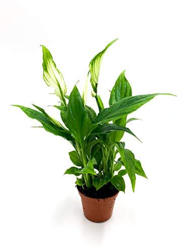 Spathiphyllum Einblatt | gut für das Raumklima | Zimmerpflanze | echte Pflanze | Topf ⌀6 | Höhe 21cm (1, ohne Topf)