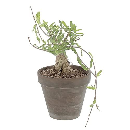 KENTIS - Fockea Edulis - Cactus Rari - Pianta Grassa Vera - H 20-30 cm Vaso in Terracotta Ø 14 cm