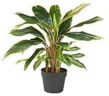 HTT Decorations - Künstliche Keulenlilie rot/Cordyline - Hochwertige Kunstpflanze - Rötlich - 65 cm hoch, Untertopf mit 16 cm Durchmesser