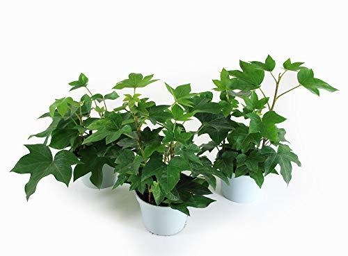 Isenzo Lebende Topfpflanze Efeuaralie Fatshedera im 13cm-Topf Zimmerpflanze Topfpflanze Efeu Kletterpflanze Kletterer Blattschmuckpflan