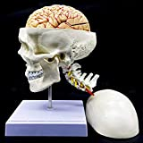 Human Skull with Brain and Cervical Vertebra Anatomical Model Life-Size Anatomy for Science Classroom Study Display Teaching Model