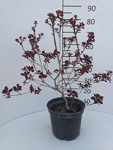 Späth Roter Perückenstrauch \'Royal Purple\' Zierstrauch winterhart Gartenpflanze schnellwachsend 1 Pflanze Container C 3