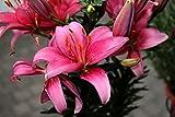 Bulbos De Lirio, Hermosas Flores, Bulbos, Bulbos Resistentes Y Fuertes, Decorativo / Especial / Fuerte / Duradero /-5-bulbos,Rojo