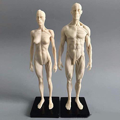 Bildungsmodell 11 Zoll (männlich + weiblich) Mensch Anatomische Modellkunst Schaufensterpuppe Muskel-Skelett-Struktur der Malerei Skulptur Weißer Körper