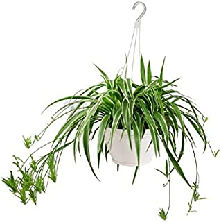 spider live plant include hanging pot