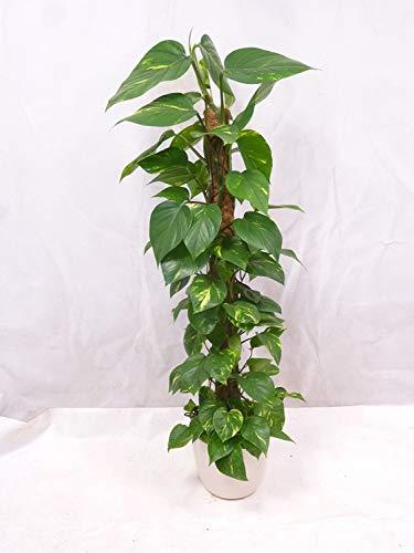[Palmenlager] Epipremnum pinnatum Efeutute