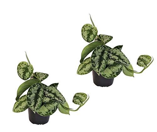 Efeutute, Scindapsus, (Epipremnum aureum) Sorte: Trebie, geflecktes grün-silbriges Blattwerk, rankend, Ampelpflanze, luftreinigend (2)