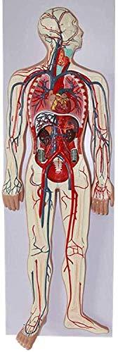 LBYLYH Modelo del Sistema circulatorio Humano - estructuras