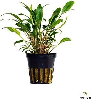 Mainam Cryptocoryne Lucens Potted Tropical Beginner Freshwater Live Aquarium Decorations Easy Aquatic Plants