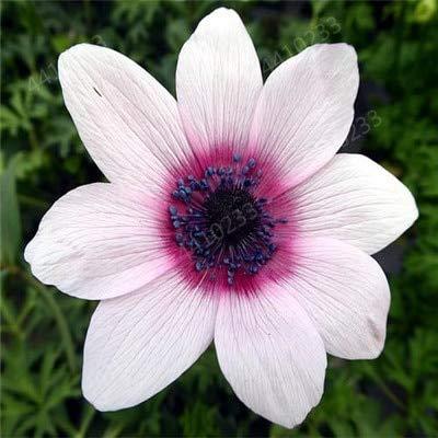 ! Heißer 10Pcs / Bag Bonsai Wasser-Hyazinthe Blumen Pflanzen Neuer Live-Wasser-Hyazinthe Schwimmteich Aquarium Fissidens Fon: u
