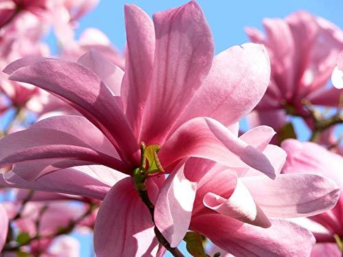 Magnolia Galaxy pianta in vaso ø13 cm