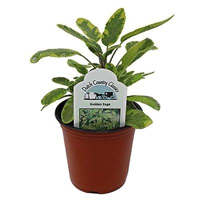 Dutch Country Classics Live Golden Sage Herb Plant