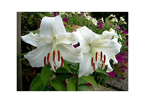 GARTHWAITE NURSERIES : - 6 Casa Blanca Oriental Lily Bulbs White Trumpet-Shaped Highly Fragrant Perennial