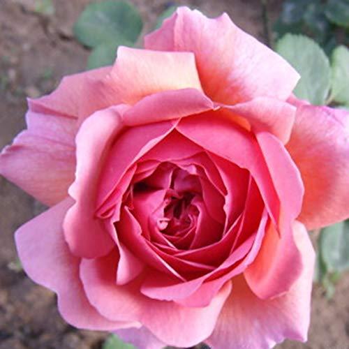 C-LARSS 100 Unids/Bolsa Semillas De Rosas, Plantas De Semillero De Flores Llamativas De Colores Mezclados Florecientes Perennes Para Jardín semilla de rosa