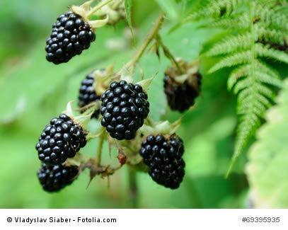 Brombeere rubus fruiticosus Blackberry 10 Samen frosthart