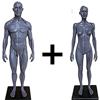 Male&Female Human Anatomy Figure Ecorche and Skin Model Lab Supplies Anatomical Reference for Artists  Gray
