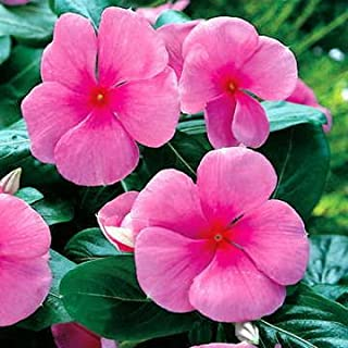 cd4cd8983 Park Seed Pacifica Punch Hybrid Vinca Flower Seeds