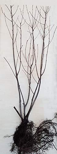 3 x Aronia Apfelbeere NERO Pflanzen hochwertige Kultursorte 120 cm