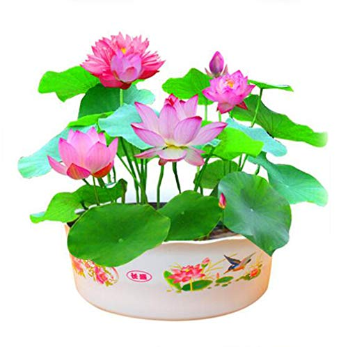 Aquatic Plants Flower Mini Bowl Lotus Seeds Water Lotus Plant Hydroponic Plants Bonsai Seeds Garden Flower 10Pcs/Bag