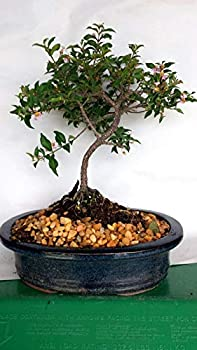 Live Plant - Weeping Cherry Bonsai Tree Flowers Pink ANO Yellow Real Cherries