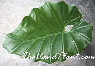 1 Bulb of ALOCASIA HYPNOSA, (Englerarum hypnosum) Plant
