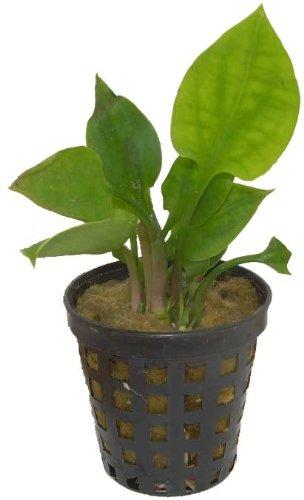 Aquarienpflanzen Cryptocoryne ciliata, Wasserpflanzen