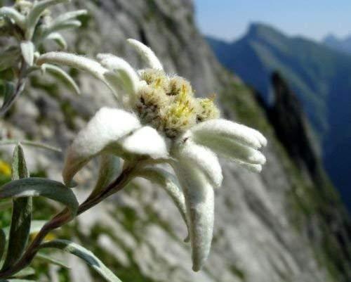 50+ EDELWEISS ALPINE Blumensamen Bodendecker, rehsicher, trockenheitstoleranten