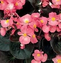 Begonia - Fibrous Senator IQ PL Pink 2,000 seeds